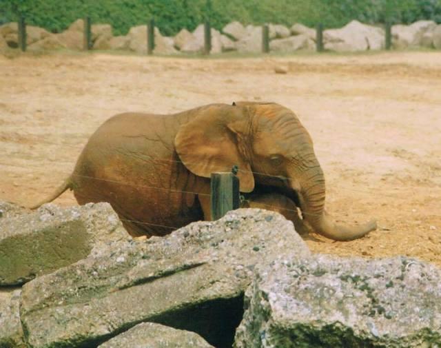 Captive elephant pacing