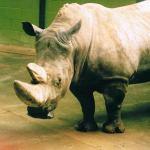 Captive rhino