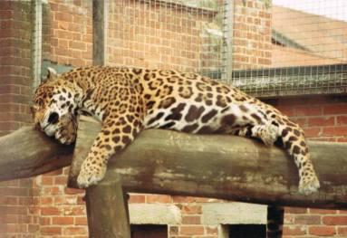 Captive leopard