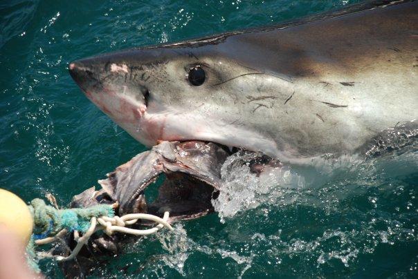Great white sharks: Diving a little deeper…