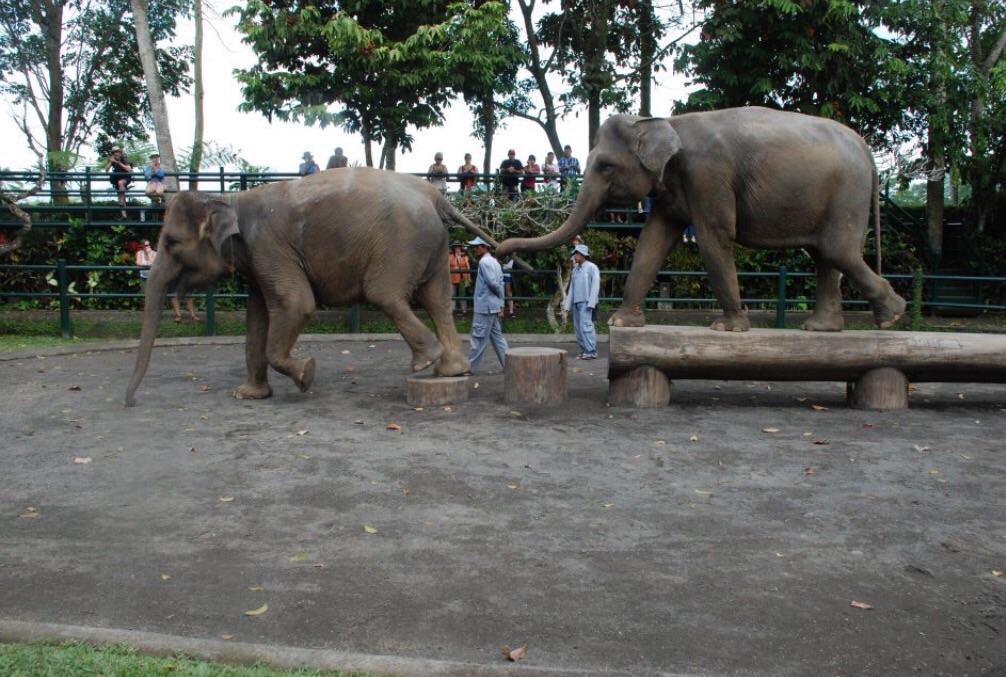 Captive Indian elephants + trainers