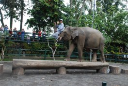 Captive Indian elephant + trainer