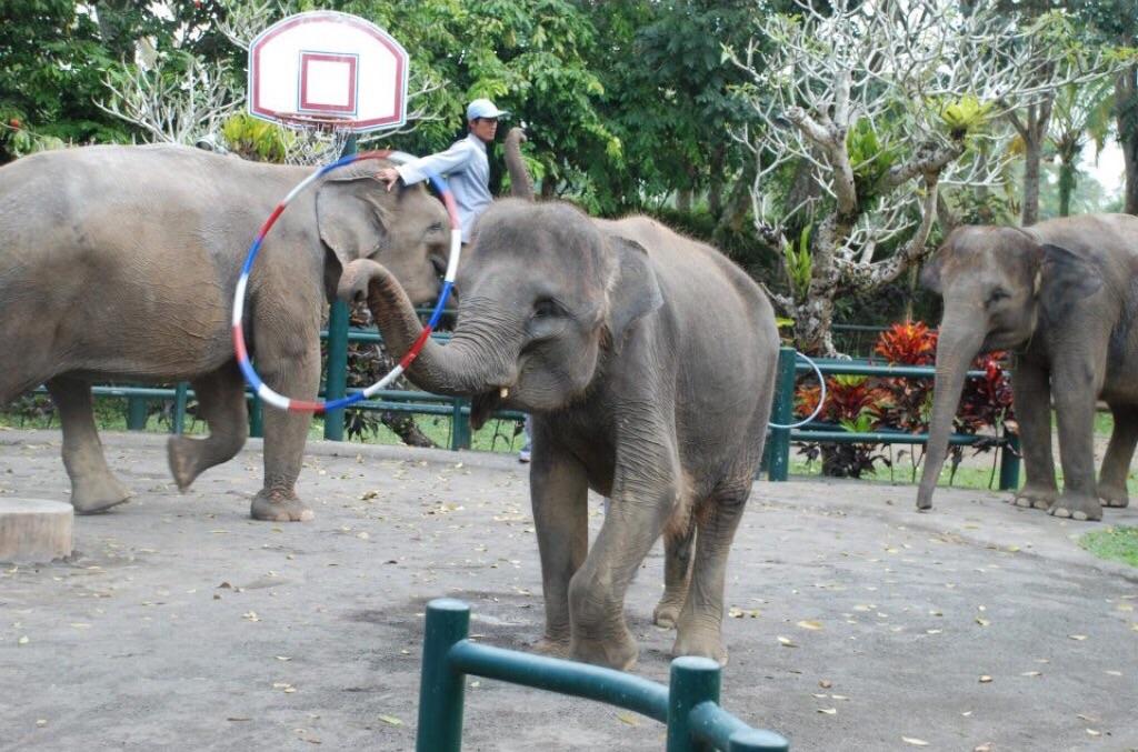 Captive Indian elephants