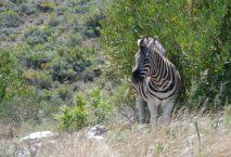 Zebra photography by Kate on Conservation