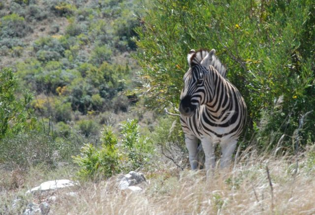 Zebra photography by Kate on Conservation
