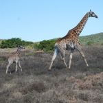 Giraffe photography by Kate on Conservation