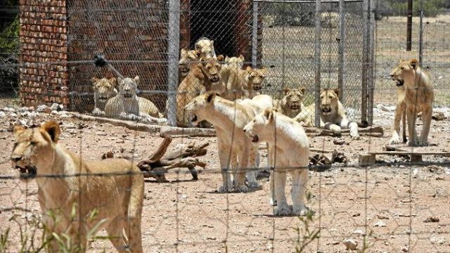 canned-hunting