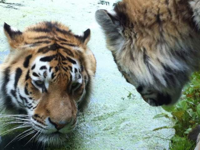 Tigers photo, Tiger time
