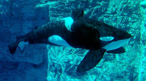 Tilikum-Seaworld-580-2.jpg