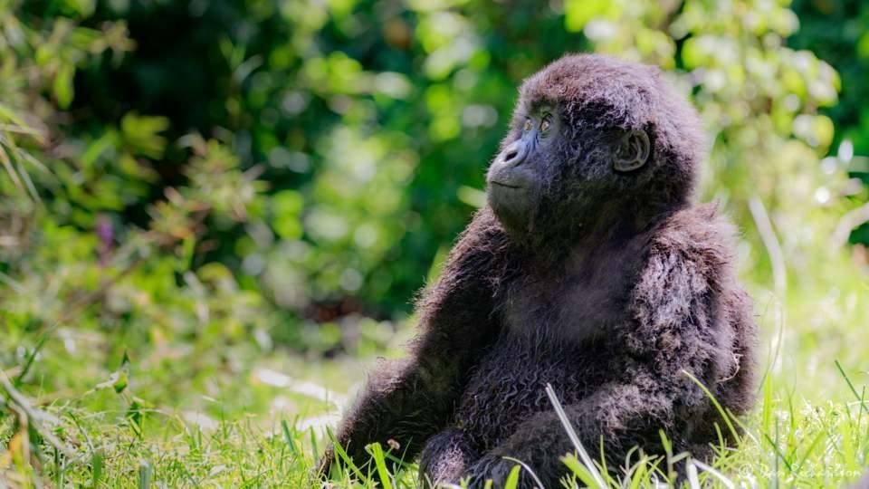 baby gorilla sitting on the grass
