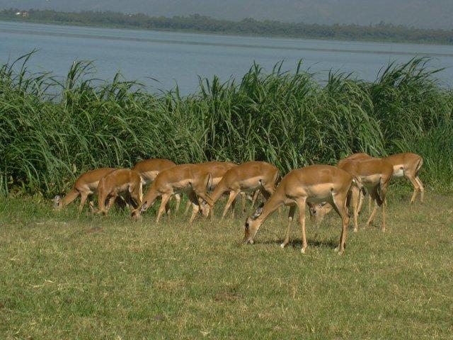 Antelope-in-Kenya