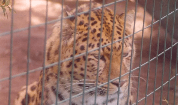 amur leopard in the zoo