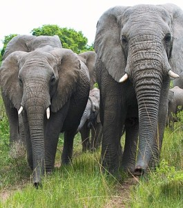 Elephant-herd-in-Kenya