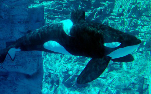Blackfish Tilikum: An homage to his memory and a promise to myself