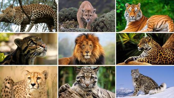 Big Cats CITES