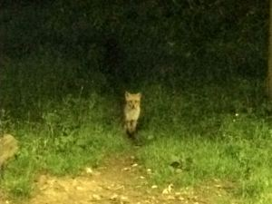 Fox-at-Tewin-Orchard-Hertfordshire