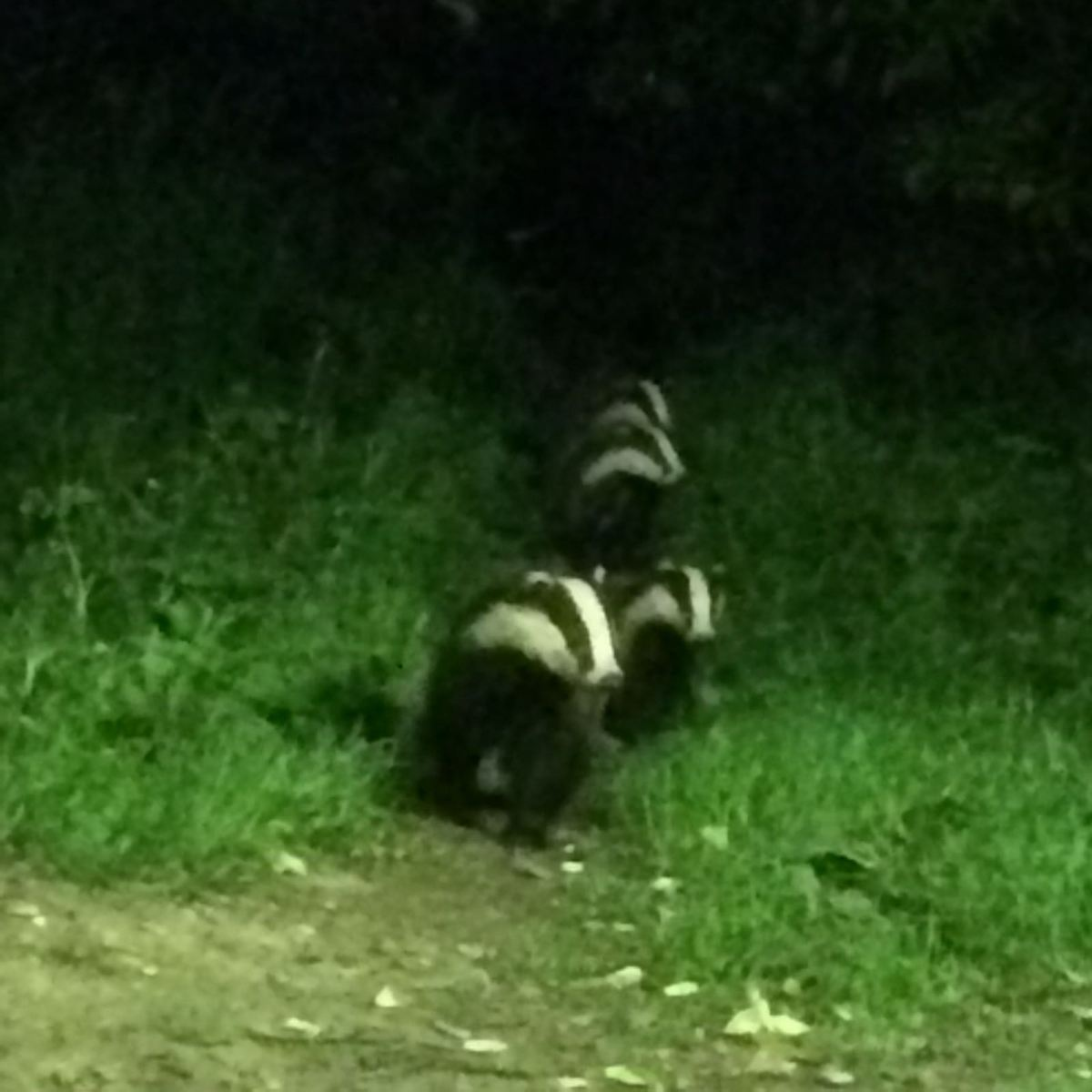 Four-Badgers-at-Tewin-Orchard-Hertfordshire