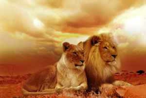 lions in sunset and clouds