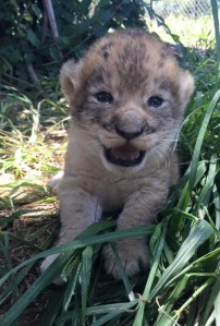 12 day old lion cub