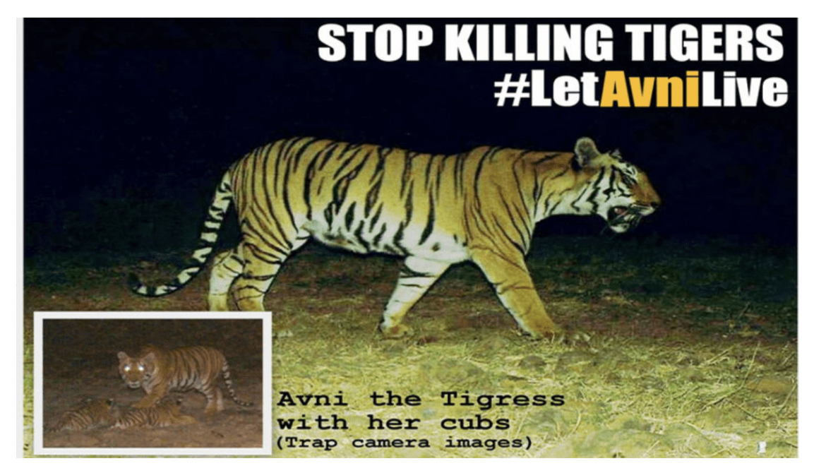 Uncovering the truth about Avni the tigress and her cubs: Guest Post by Bella Rebell