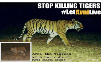 Avni the tiger campaign to stop the killing