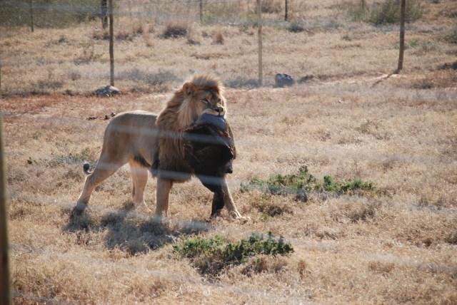 Lion-Brutas-at-Shamwari-Game-Reserve