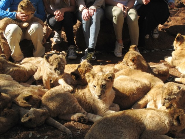 Young cubs interacting with volunteers, photo by Ian Michler, courtesy of Blood Lions