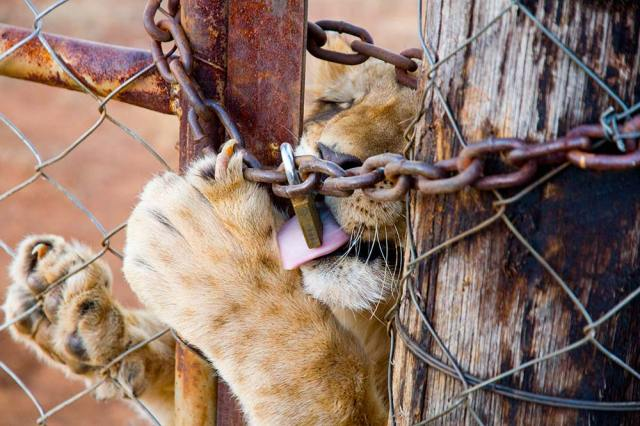 Lioness behind bars claws at chain and lock. Photo ©Pippa Hankinson courtesy of Blood Lions