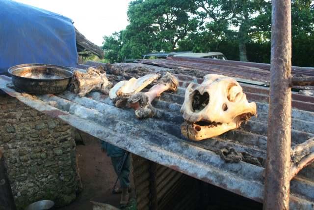 lion skull and bones