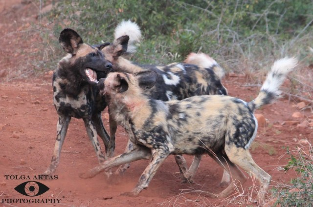 African-wild-dogs-socialising-at-Somkhanda-Game-Reserve-KwaZulu-Natal-in-South-Africa