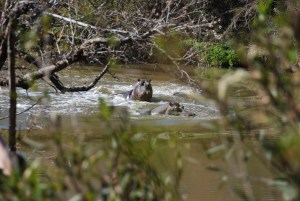 hippos swimming near the pavilion at Shamwari game reserve