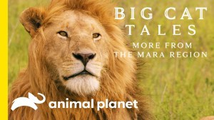Big Cat Tales More from the Mara region tite card