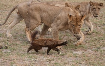lioness-with-honey-badger