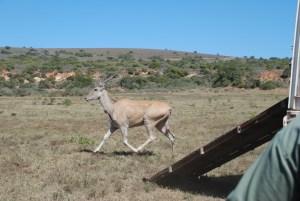 Shamwari diaries - Eland released successfully onto the reserve