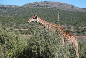 Shamwari diaries - giraffe in front of cut line
