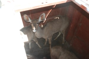 Shamwari diaries - kudu inside vehicle