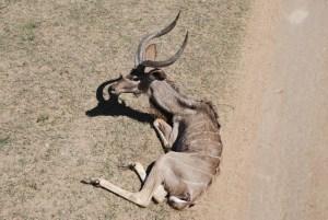 Shamwari diaries - kudu with a leg injury