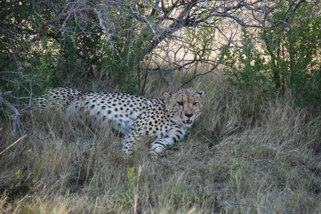 blind-cheetah-at-shamwari-game-reserve