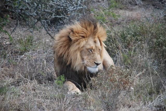 amakhala-lion-pride-leader