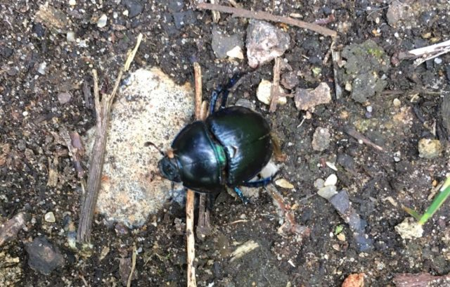 Bug Safari Dor beetle