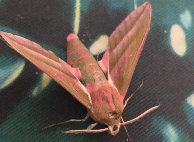 Bug Safari elephanthawk moth