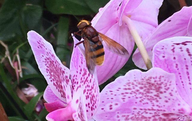 Bug Safari hornet mimic hoverfly