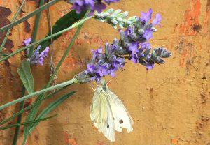 Bug Safari small white butterfly