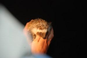 Hedgehog-sighting-at-Amakhala-Game-Reserve