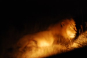 Lion-at-Amakhala-Game-Reserve-night-sighting
