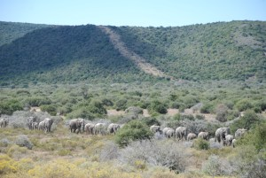 elephant-herd-at-shamwari