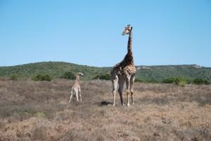 female-giraffe-and-calf-at-shamwari