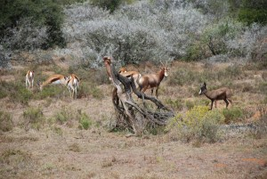 Game-counting-blesbok-and-impala-at-Amakhala-Game-Reserve