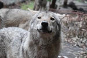 Wolf-close-up-at-Tsitsikamma-wolf-sanctuary-South-Africa