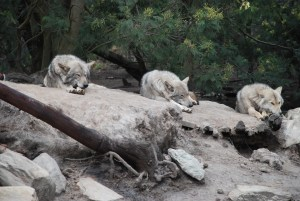 Wolves-sleeping-on-rocks-at-Tsitsikamma-wolf-sanctuary